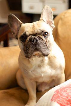 Tumblr #frenchbulldog #frenchie