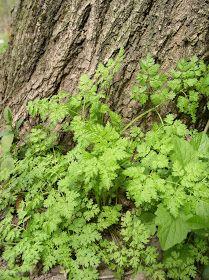 Erdőkóstoló: Fajfelismerés Parsley, Food, Essen, Meals, Yemek, Eten