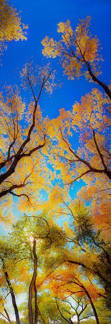 Autumn choupos, Riverside Park, Palisade, Colorado,