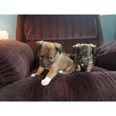 Free Chiweenie puppies for a good forever home puppies