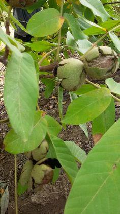High time for walnut harvest:)