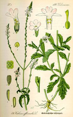 Verbena is the common name for any of the plants from Verbena genus, in the Verbenaceae family. This article, however deals with Verbena . Verbena, Botanical Drawings, Botanical Prints, Botanical Gardens, Arnica Montana, Illustration Botanique, Nature Journal, Medicinal Plants, Vintage Flowers