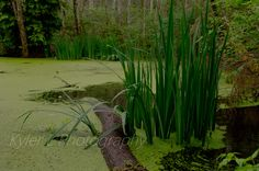 Another picture of the cool swamp on the Kitsap Heritage Trail. Kyler L Photography.