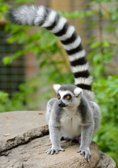 The ring-tailed lemur is the most thoroughly studied subspecies.