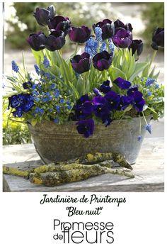 Collection de 5 plants de bisannuelles en mini-mottes, 5 bulbes de tulipes triomphe 'Black Jack' et 20 muscaris 'Blue Magic' pour une jardinière fleurie au printemps dans des tons allant du bleu pur au violet presque noir comme la nuit.