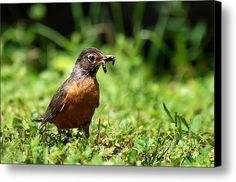 Early Bird American Robin Canvas Print / Canvas Art By Christina Rollo