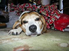 Not owned one yet but have house sat beagles before - really smart dogs