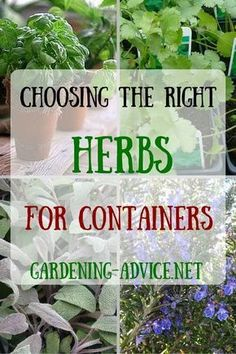 Choosing the right herbs for a Container Herb Garden is critical for success. Here is a selection of culinary herbs that work well for growing herbs in pots. #herbgardening