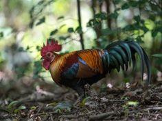 Un bonito gallo en el bosque