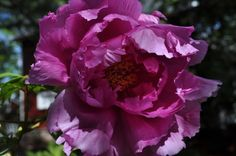 Once a Year, The Peonies Bloom— Spring Time, Peonies, Delicate, Bloom, Rose, Flowers, Plants, Pink, Plant