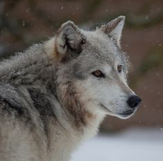 Stop Killing Wolves! — The Queen of Winter deep in Montana by Russ...