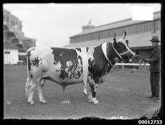 Champion Ayrshire Bull, Royal Sydney Easter Show 1929 | RevivalRepublic.com