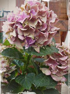 kwiaty, hortensja Floral Wreath, Delicate, Wreaths, Plants, Home Decor, Decoration Home, Room Decor, Planters, Bouquet