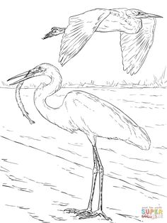 Common Loon Coloring Page