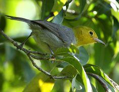 9099. Yellow-headed Warbler (Teretistris fernandinae) | Cuba