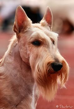 Gorgeous wheaten colored Scottish Terrier