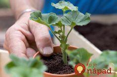 Taking pelargonium cuttings Overwintering Geraniums, Growing Geraniums, Growing Plants, Beautiful Red Roses, Planting Roses, Garden Crafts, Bonsai, Garden Design, Flora