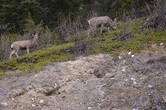 Cerf de Virginie. Banff, Canada Road Trip dans l'Ouest Canadien