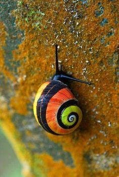 Polymita picta: è considerata la lumaca di terra più bella del mondo per il colore del suo guscio.