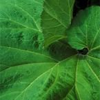 Butterbur was just as effective as a commonly used oral antihistamine for allergy symptoms such as itchy eyes. Asthma Remedies, Natural Headache Remedies, Home Remedies, Herbal Remedies, Asthma Relief, Migraine Relief, Itchy Eyes, Tension Headache