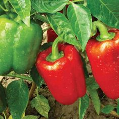 How To Grow Bell Peppers. Everything you need to know to grow great bell peppers in your vegetable garden! When to plant peppers, how to care for pepper plants, and how to harvest bell peppers and more! Bell Pepper Plant, Pepper Plants, Vegetable Garden Fertilizer, Organic Fertilizer, Gardening Vegetables, Growing Bell Peppers, Easy Vegetables To Grow, Fresh Vegetables, Pepper Seeds