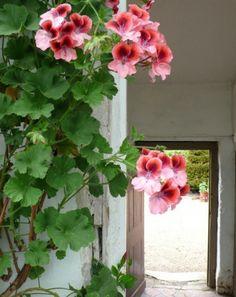 Inspirational images and photos of , pelargoniums : Gardenista