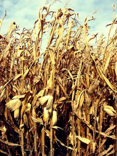 Feild of dead corn stocks, reminds me of my hometown.  Dead, but so pretty in the large fields.