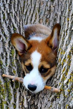 Some Corgis have to grow into their intelligence...