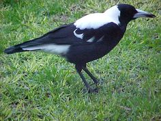 Australian Native Birds - Australian Magpie facts and myths