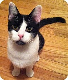 Springfield, PA - Domestic Shorthair. Meet SINBAD, a cat for adoption. http://www.adoptapet.com/pet/11245004-springfield-pennsylvania-cat