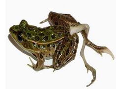 Frog with extra legs