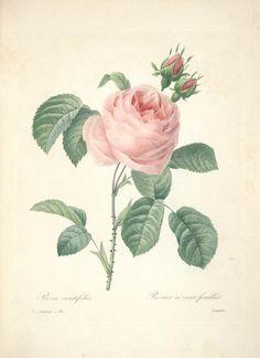 1833 - Redoute, Choix des plus belles fleurs : - Biodiversity Heritage Library