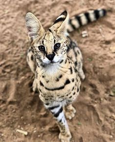"serval is sometimes called ""the cat of spare parts"" because of.The serval is sometimes called ""the cat of spare parts"" because of. Small Wild Cats, Big Cats, Cats And Kittens, Cute Cats, Beautiful Cats, Animals Beautiful, Animals And Pets, Cute Animals, Serval Cats"