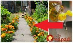 Aksamietnice prezývané smraďošky alebo afrikánysú obľúbené a veľmi nenáročné rastlinky, ktoré sa oplatí mať na záhone. Sú totižto veľmi užitočné nielen pre vaše záhony, ale aj pre vás. Tieto obľúbené letničky majú úžasnú schopnosť chrániť vaše záhony pred škodcami (odplašia vošky, háďatká, molice), no málokto vie, že sú ohromne prospešné aj pre naše zdravie. Mňa... Medicinal Herbs, Health Advice, Natural Medicine, Korn, Life Is Good, Diy And Crafts, Gardening, Outdoor Decor, Ale