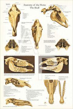 "cow skeletal anatomy poster  24"" x 36""  bovine anatomy"