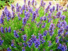 Miloduh je visegodisnja biljka,grmastog oblika sa 60 do 70 cmvisokim i uspravnim grancicama.Listovi su lancetasti,gotovo goli,po ivici celi,a na vrhu zaobljeni ili kratko siljasti i nesto uvijeni.Sa obe strane listova nalaze se mnogobrojne zlezde sa uljem.Cvetovi su gusto poredjani u d