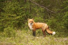 Red Fox - Red Fox photo taken near Bancroft, Ontario.