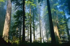CA Redwoods - the most peaceful place on Earth