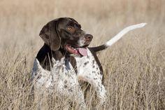Estas son las 10 razas caninas más deportistas