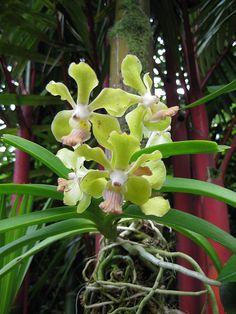 Green Orchid Natural Habitat