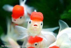 金魚の表情