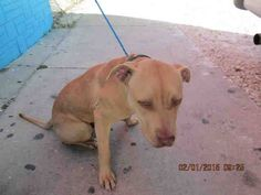 BOSS (A1676952) I am a male tan and white Pit Bull Terrier mix.  The shelter staff think I am about 1 year old.  I was found as a stray and I may be available for adoption on 02/07/2015. — hier: Miami Dade County Animal Services. https://www.facebook.com/urgentdogsofmiami/photos/pb.191859757515102.-2207520000.1422832092./921205674580503/?type=3&theater