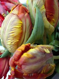 French tulips about to bloom
