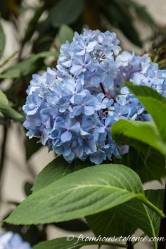 These tips for figuring out why your hydrangea isn't blooming are awesome. Find out what you need to do to get beautiful perennial Hydrangea flowers in your garden landscaping. Smooth Hydrangea, Hydrangea Bloom, Hydrangea Not Blooming, Hydrangea Garden, Hydrangea Flower, Incrediball Hydrangea, Hydrangea Macrophylla, Part Shade Perennials, Flowers Perennials