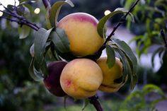 #Peaches #Peach #Kerveli #Samos #Samos2016 #LarsLorenzen #Digital-cowboy.dk #Visuelformidling #Schacksgade #Odense