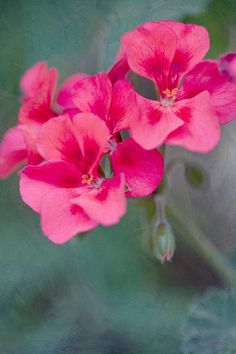 Like a Painting~summer germanium- Connie Etter Photo