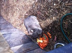 Bare-nosed wombat having a snack!