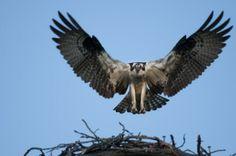 An Osprey on Flathead Lake. Flathead Lake, Surviving In The Wild, Raptors, Bald Eagle, Montana, Underwater, Birds, Awesome, Animals