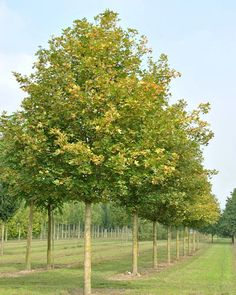 13 Best Acer Campestre Images In 2014 Acer Plants Trees Shrubs