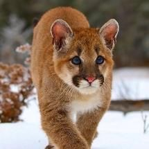 Mountain Lion Cub - Big Cats -- More like an adolescent mountain lion walking on snow. I Love Cats, Big Cats, Cats And Kittens, Animals And Pets, Baby Animals, Cute Animals, Wild Animals, Beautiful Cats, Animals Beautiful